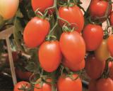 Seminte de rosii Kilates F1 (500 seminte)