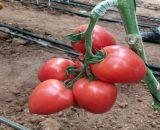 Seminte de rosii Kongo F1 ( 250 seminte )