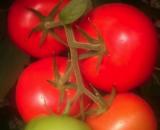 Seminte tomate nedeterminate TL 16080 F1 (500 seminte)