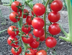 Seminte de rosii Prolina F1 (500 seminte)