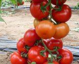 Seminte de rosii ZKI 04240 F1 (250 seminte )