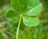Seminte de Trifoi Alb pitic ( 5 kg )