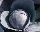 Seminte de varza rosie Omero F1 (1000 seminte)