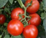 Seminte de rosii Zadurella F1 (250 seminte)