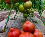 seminte de rosii pekonet f1 160x130 - Kaponet F1 ( 500 seminte )