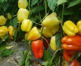 seminte de ardei gras piedone f1 160x130 - SeminteCarcassone F1 (500 seminte)