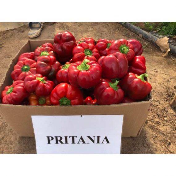 seminte de gogosar pritannia f1 570x570 - Seminte Pritannia F1 (500 seminte)