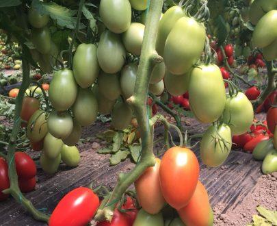 seminte de tomate bacalar 5 405x330 - Bacalar F1 (500 seminte)