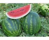 seminte pepene verde poyraz f1 160x130 - Seminte de porumb zaharat Messenger F1 (5000 seminte)