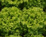 salata batavia lianabel 160x130 - Seminte Luceris (5000 seminte)