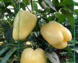seminte de ardei gras cecilia f1 160x130 - Seminte Guray F1