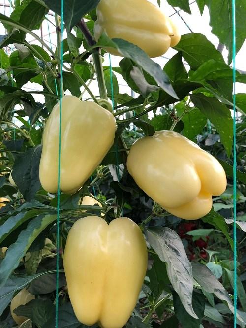 seminte de ardei gras cecilia f1 - Seminte Cecilia F1