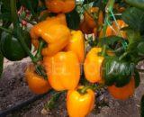 seminte de ardei gras guray f1 160x130 - Seminte Cecilia F1