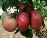 seminte de tomate gusto pink f1 160x130 - Seminte Bucanero F1