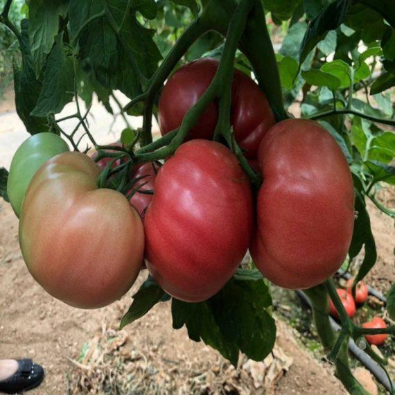 seminte de tomate gusto pink f1 570x570 - Seminte Gusto Pink F1