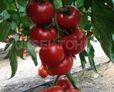seminte de tomate kahraman f1 160x130 - Dithane M-45