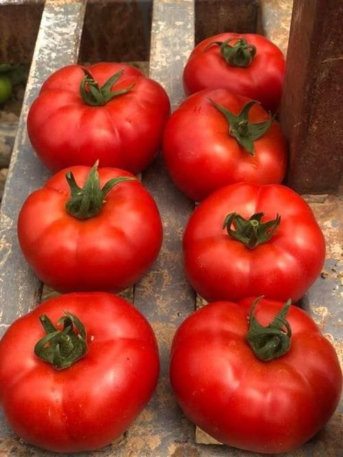 seminte de tomate ozkan f1 - Ozkan F1 (500 seminte)