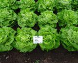 seminte salata luceris 160x130 - Seminte Report F1 (1000 seminte)