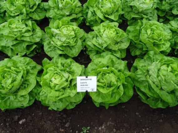 seminte salata luceris 570x427 - Seminte Luceris (5000 seminte)