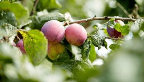 stropirea la pruni