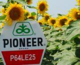 floarea soarelui pioneer p64le 25 160x130 - Trineo 25EW