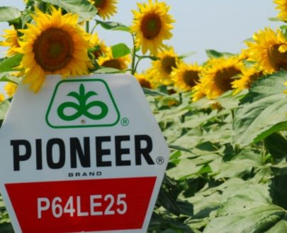 floarea soarelui pioneer p64le 25 405x330 - Pachet 5HA - Floarea Soarelui P64LE25 (300.000 seminte) + Express 50SG (150g)
