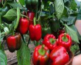 ardei ardanza 160x130 - Seminte Rossa di Bassano ( 500 gr )