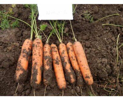 morcovi carvejo 405x330 - Carvejo F1 ( 100.000 seminte )