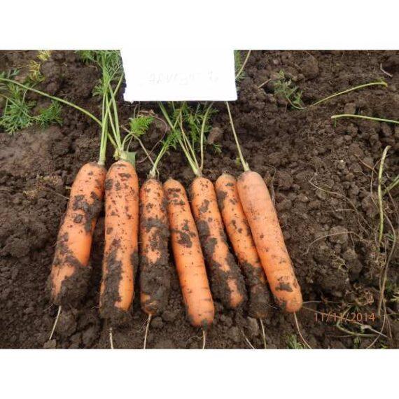 morcovi carvejo 570x570 - Seminte Carvejo F1 ( 100.000 seminte )