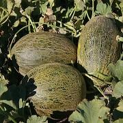 pepene arien - Seminte Airen F1 ( 500 seminte )