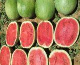 pepene elghali 160x130 - Oleole F1 (5000 seminte)