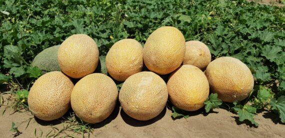 pepene rebeca f1 570x277 - Seminte Rebeca F1 ( 500 seminte)