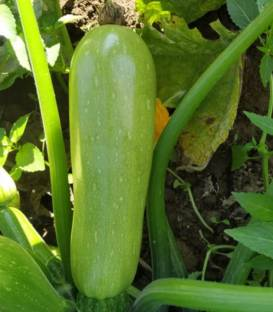 seminte dovlecel cordelia f1 - Seminte Cordelia F1 ( 500 seminte )