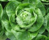 seminte salata janique 160x130 - Seminte Prinz-Drajat ( 10.000 seminte )