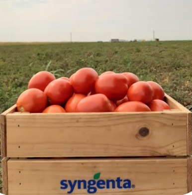 tomate brixtone - Seminte Brixtone F1 ( 5000 seminte )