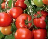 tomate helicaz 160x130 - Seminte Janique F1 ( 10000 seminte )