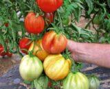 tomate liguria 160x130 - Seminte Rosalinda F1 ( 100 seminte )