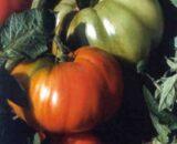 tomate rhodia 160x130 - Seminte Perugino F1 ( 500 seminte )