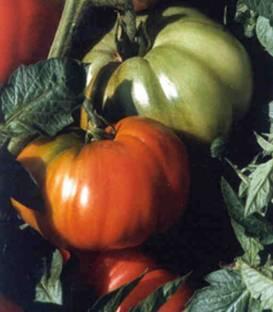 tomate rhodia - Rhodia F1 ( 100 seminte )