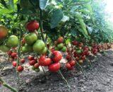 tomate yety 160x130 - Seminte Pink Wand F1 ( 500 seminte )
