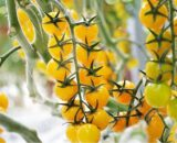 tomate yolita 160x130 - Seminte Brixtone F1 ( 5000 seminte )
