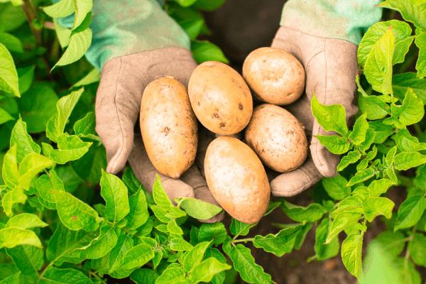 Cultivare cartofi – trucuri pentru obtinerea unei recolte bogate si sanatoase