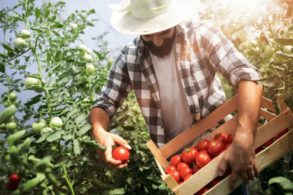 seminte rosii - Cele mai eficiente trucuri pentru obtinerea unei recolte bogate de rosii