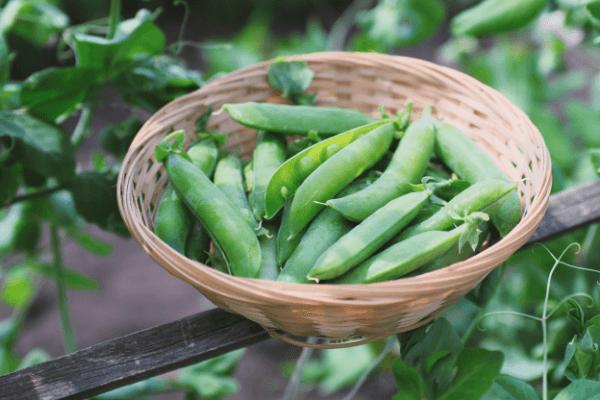 erbicide mazare - Cele mai eficiente erbicide pentru culturile de mazare in camp