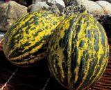 pepene balbey 160x130 - Seminte Macigno F1 ( 1000 seminte )