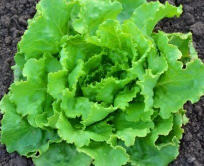 salata deliane 405x330 - Deliane ( 10 g )