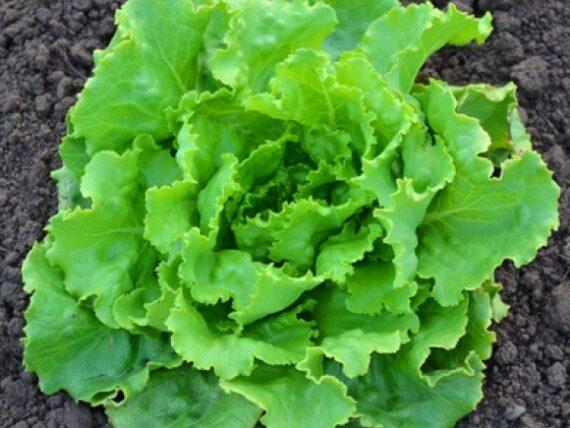 salata deliane 570x428 - Seminte Deliane ( 10 g )
