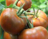tomate bronson 160x130 - Seminte Gourmandia F1 ( 250 seminte )