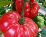 tomate buffalopink 160x130 - Mirely F1 ( 250 seminte )