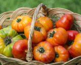 tomate buffalosun 160x130 - Seminte Gourmandia F1 ( 250 seminte )